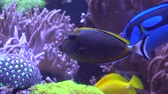 Exotic tropical Clownfish in blue water of aquarium.
