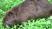 bóbr : Beaver eating in natural environment. Wideo