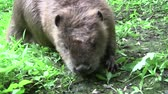 хвост : Beaver eating in natural environment. Стоковые видеозаписи
