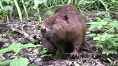 yassı : Beaver eating in natural environment. Stok Video