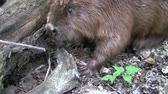зуб : Beaver eating in natural environment. Стоковые видеозаписи
