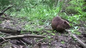 dişler : Beaver eating in natural environment. Stok Video