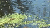 redemoinhos : duckweed on the surface of the water whirls in a whirlpool Vídeos