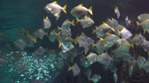 clownfish : A flock of white tropical fish floating in an aquarium. A shark appears. Stock Footage
