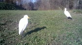 heron : Small Group of White Water Birds (Western Cattle Egret - Bubulcus Ibis) Close View in a Sunny Day in a Green Grass Meadow. Water Animals and Nature FullHD Video.