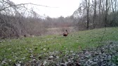 fazant : Common Pheasant (Phasianus Colchicus) walks and eats on the grass in winter day. Pheasant is a game bird in the pheasant family (Phasianidae). Nature and Wildlife FullHD Video.