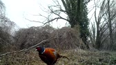nativo : Common Pheasant (Phasianus Colchicus) eats in a winter day in a wood. Pheasant is a game bird in the pheasant family (Phasianidae). Nature and Wildlife FullHD Video. Vídeos