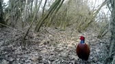 nativo : Colorful Common Pheasant (Phasianus Colchicus) close up in a wood in winter. Pheasant is a game bird in the pheasant family (Phasianidae). Nature and Wildlife FullHD Video.
