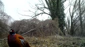 madármegfigzelés : Common Pheasant (Phasianus Colchicus) close view video in winter in a wood. Pheasant is a game bird in the pheasant family (Phasianidae). Nature and Wildlife FullHD Video. Stock mozgókép