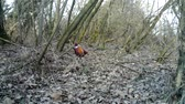 plumagem : Female of Pheasant (Phasianus Colchicus) eats the grass in urban wood in winter
