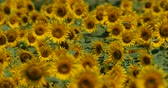подсолнечник : Video Shooting of Summer Sunflower Field. A Beautiful Approaching Cloud Comes out.