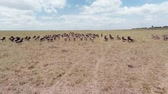 establishing shot : Migration of  Wildebeest. Aerial. Masai Mara National Reserve, Kenya