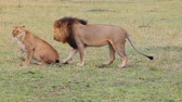 animals : Lion and lioness mate. Masai Mara National Reserve, Kenya Stock Footage