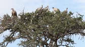 assassinato : Vultures sitting on a tree. Masai Mara. Kenya.       Vídeos