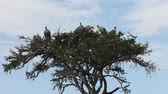 assassinato : Vultures resting on the branches of a tree. Masai Mara. Kenya.