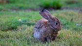 zając : Rabbit on the grass cleans his wool.
