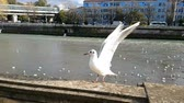 Gulls fly on the river in the city. Stock mozgókép