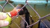 black swan eating apple