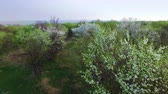 apricot : Flying above the old abandoned a blossoming orchard. aerial survey Stock Footage