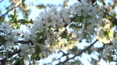 flora : Cherry blossoms in the spring at sunset. Close-up Stock Footage