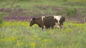 boğa : Cows graze in a meadow Stok Video