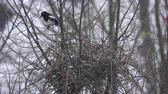 épít : Bird magpie builds a nest Stock mozgókép