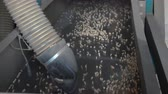 legumbres secas : Sorting pea seed on the elevator Archivo de Video