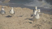 fliege : Seagulls on the seashore. Slow Motion