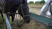 koets : Horse on a farm eating cart hay Stockvideo