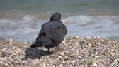 jíst : Dove on the sandy seashore of the Black Sea. Slow motion