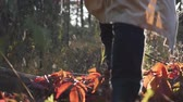 wanderstiefel : Woman tourist hiking in fall forest at sunrise. Close up rear view. Female feet in leather tourist boots walking through autumn forest at warm day Videos