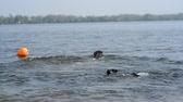 male animal : two cheerful brown labradors play in water Stock Footage