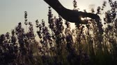 part body close-up. little girl fingers hands gently touching flowers at sunset. silhouette frame. flowering season plant. field lavender flowers. health sense aroma nature. shake plants bright summer sun