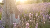 лаванда : part body little girl. close-up of fingers. colorful plants and flowers lavender flowering season. summer vacation travel nature countryside. beautiful view lighting warm sun. glare light glows shine. lifestyle feelings emotions. filming motion Стоковые видеозаписи