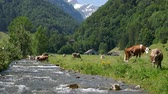 Cows grazing on alpine pasture near mountain river, Ebenalp, Canton of Appenzell, Switzerland Stok Video