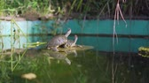 tartaruga : two turtles in a green pond. Two little turtles are sitting on the lake. Two turtles basking in the sun