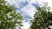 пышный : Looking up at the blue sky with clouds framed by gently blowing trees
