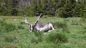 newfoundland : A caribou laying in the sunshine panting in the heat