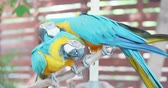 ара : Blue macaw lick his paw slightly by his beak Стоковые видеозаписи