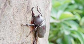 жук : unicorn beetle on the tree in the nature Стоковые видеозаписи