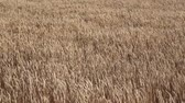 cut : Rolling Kansas wheat field. Field of tall wheat swaying rolling in the prairie winds. Stock Footage