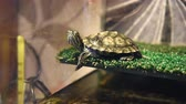 Small red-eared turtle in aquarium Стоковые видеозаписи