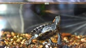 Red-eared turtle have dry feed in aquarium