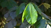 pretty : Big green leaf on tree