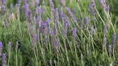 perfume : Bright lavender bush moving on a wind
