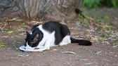 pieski : Black and white cat in the grass eating cat food Wideo