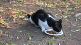 pieski : Undomestic black and white cat eating cat food Wideo