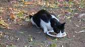 pieski : Homeless black and white cat eating cat food Wideo
