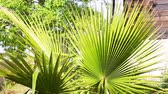 clorofila : Leaves of fan palm sways in the wind Vídeos
