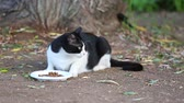 pieski : Black and white cat eating food and looking back